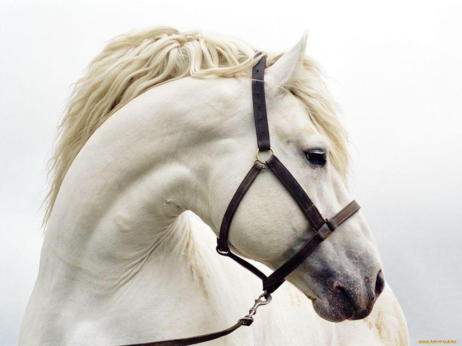 , фотографии животные, лошади, лошадь ...: www.artfile.ru/i.php?i=654954